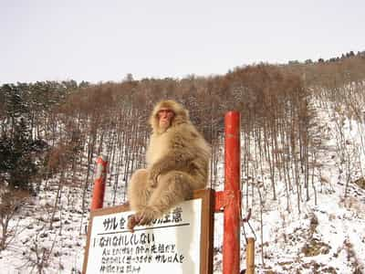 Poster of snow monkey sitting on a sign advising how to approach wild monkeys.  Great ambassador for the RWC 2019.
